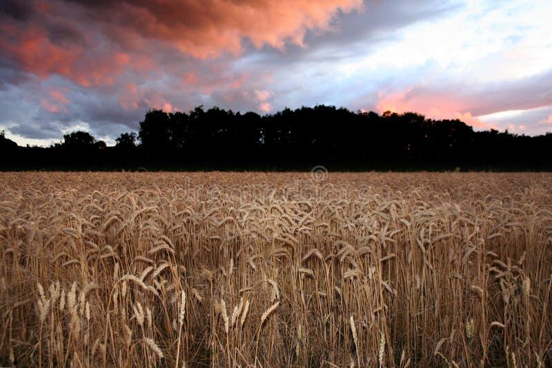 Mais-Sonnenuntergang lizenzfreie stockfotografie