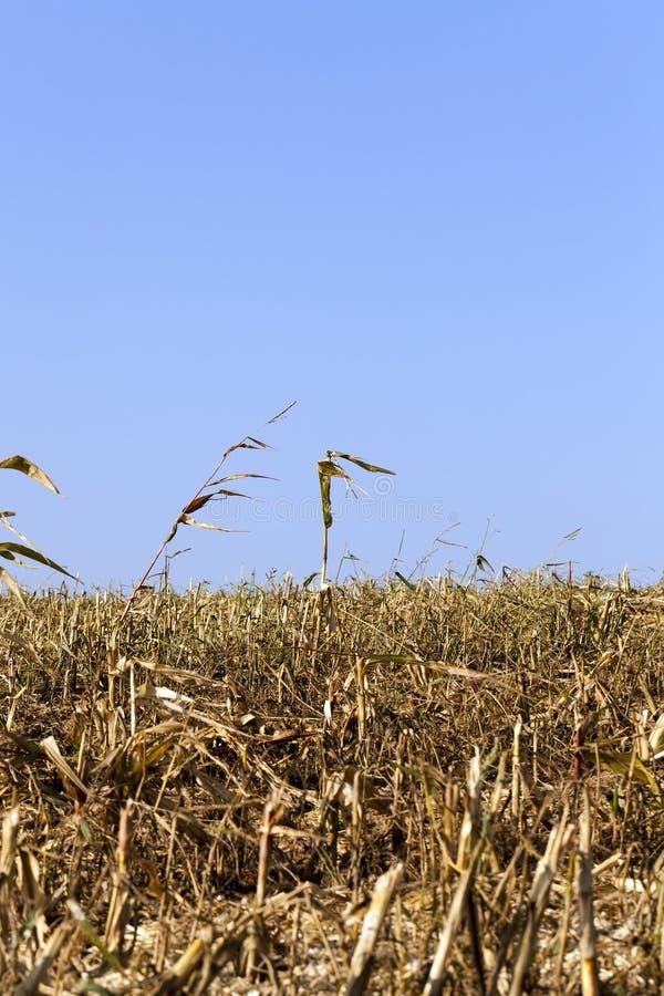 Mais-Stiele lizenzfreies stockbild