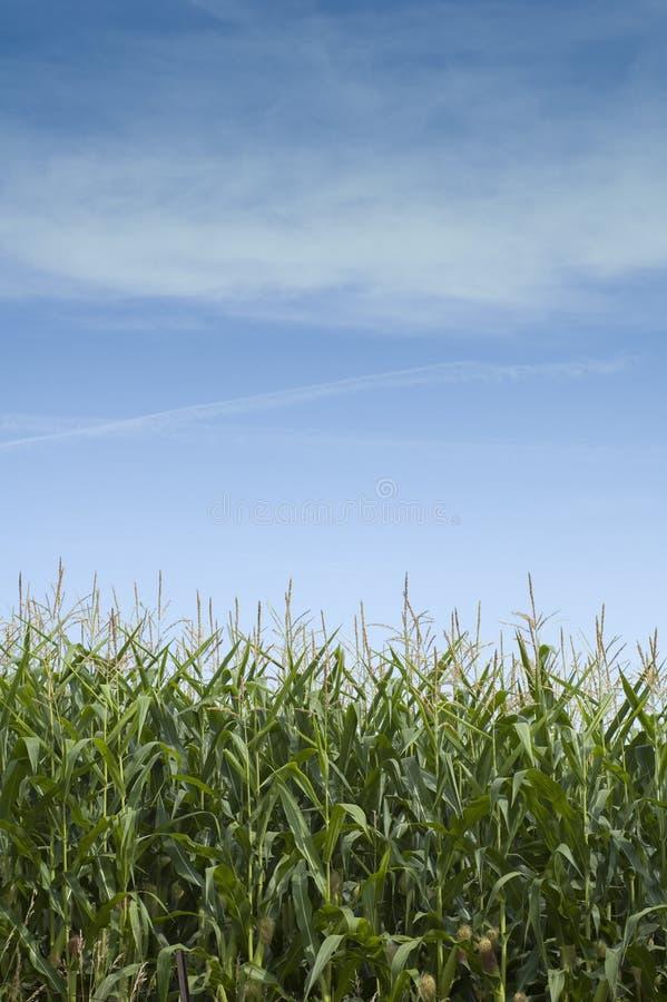 Mais-Stiele in Iowa lizenzfreie stockfotos
