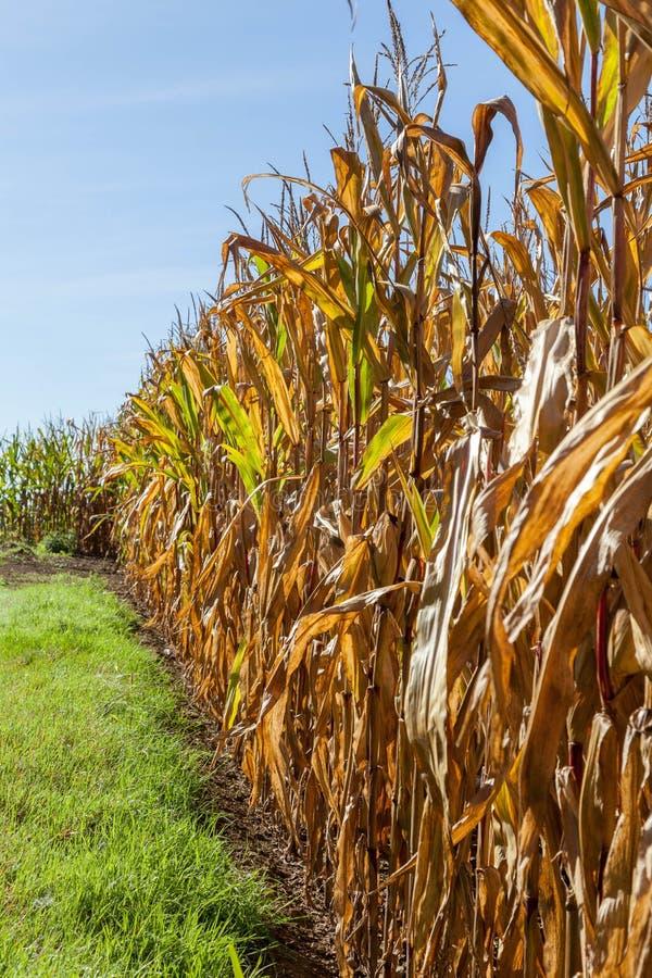 Mais zur Erntezeit stockfotografie