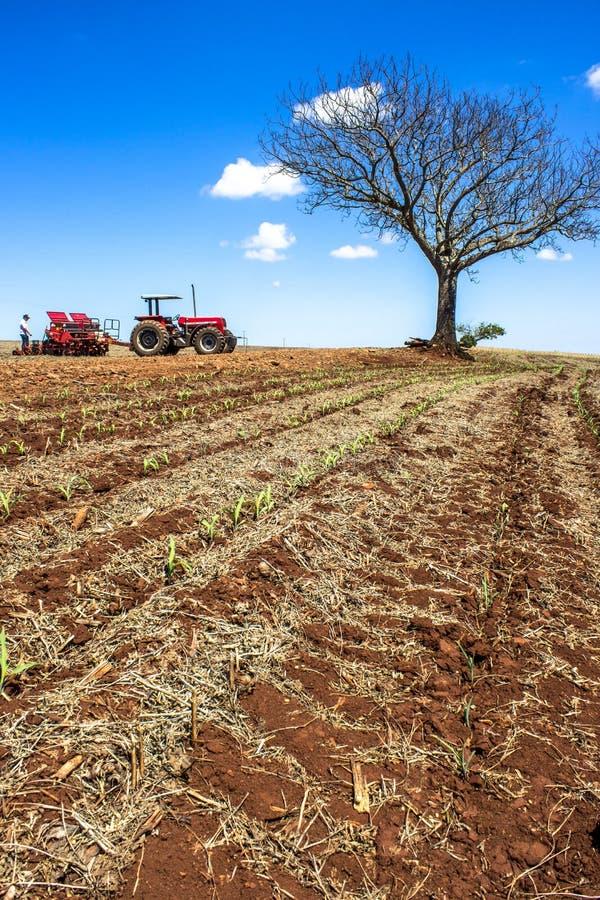 Maisanbau in Bela Vista do Paraiso, nördliche Region des Bundesstaates Parana stockbilder