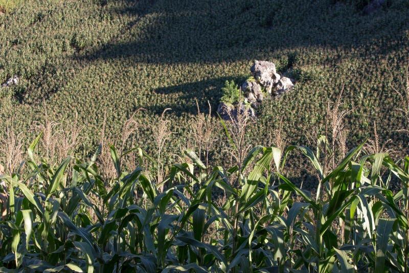 Maisfeld auf dem Hügel lizenzfreie stockfotos