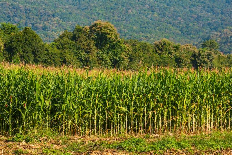 Maisfeld und -berg im Hintergrund stockfoto