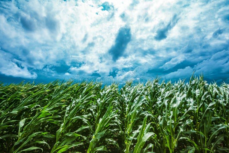 Maisfeld und stürmischer Himmel stockfotos