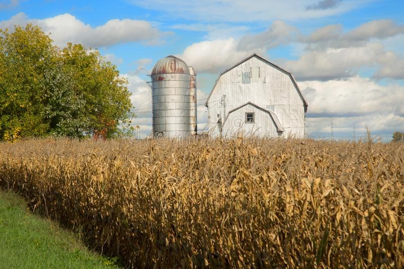 Maisfeld vor der Ernte stockbilder
