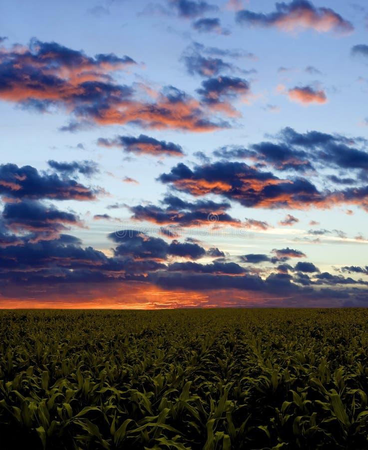 Maisfeld während des Sonnenuntergangs stockfotos
