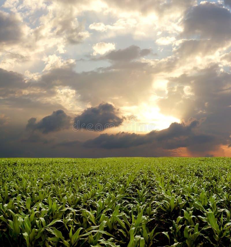 Maisfeld während des stürmischen Tages lizenzfreie stockfotos