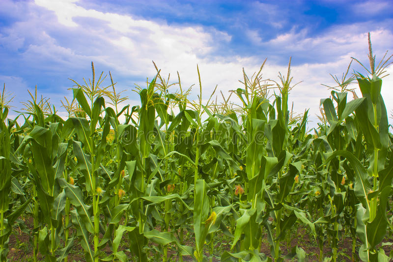 Maisfelder lizenzfreies stockbild