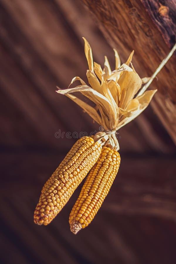 Maiskolben, trocknend und hängen an einem Holzbalken stockfoto