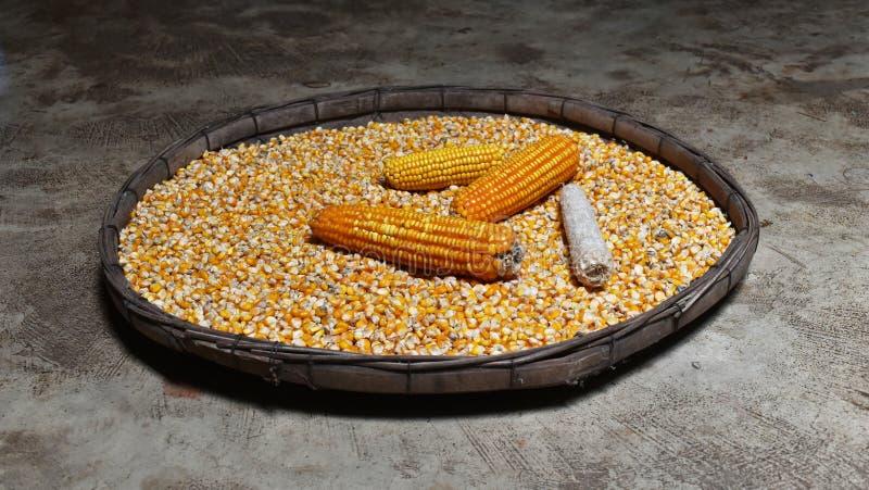 Maiskolben und Mais auf vielen trockneten Maissamen im alten trennenden Korb auf dem schmutzigen Zement, der für Hintergrund geri stockfoto