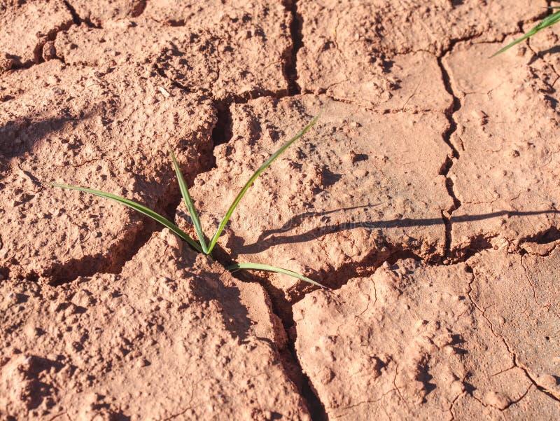 Maismaisfeld geschlagen durch harte Dürre im heißen Sommer lizenzfreie stockbilder
