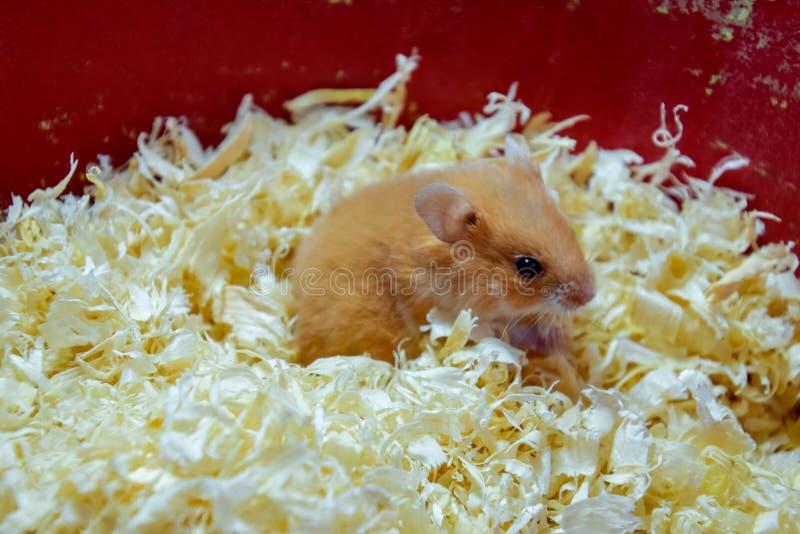 Maison de hamster en maintenant dans la captivité Hamster chez le hamster rouge de sciure photographie stock
