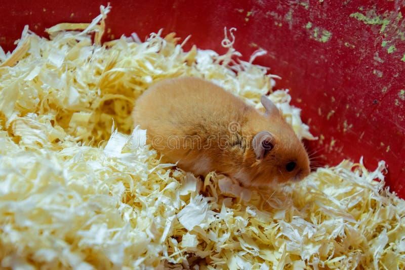 Maison de hamster en maintenant dans la captivité Hamster chez le hamster rouge de sciure photos libres de droits