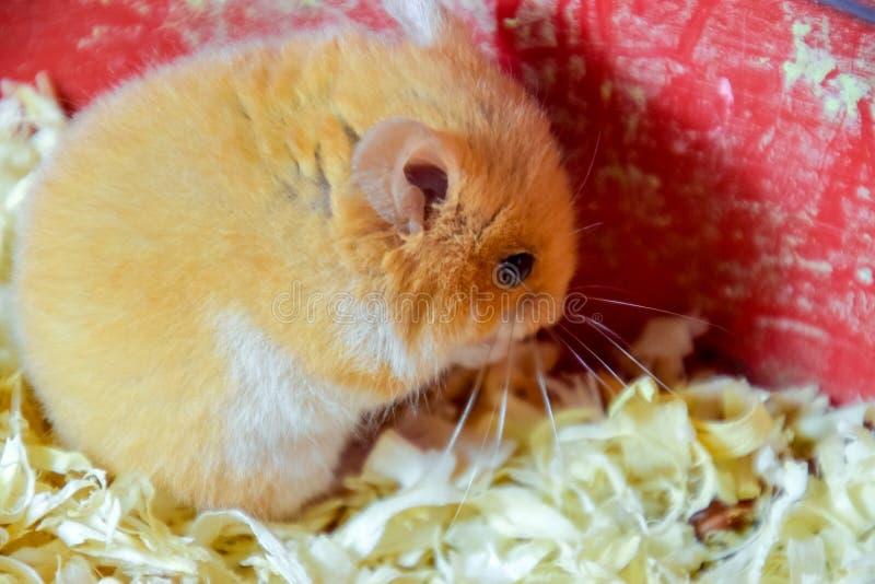 Maison de hamster en maintenant dans la captivité Hamster chez le hamster rouge de sciure image stock