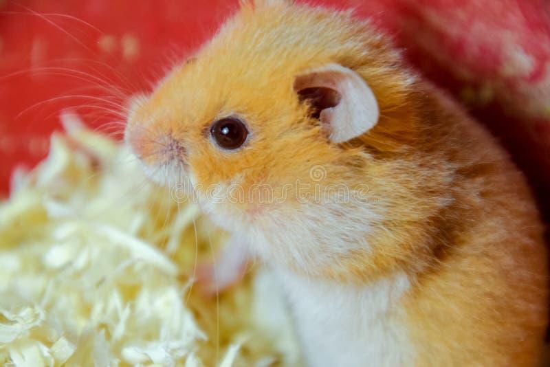 Maison de hamster en maintenant dans la captivité Hamster chez le hamster rouge de sciure photographie stock libre de droits