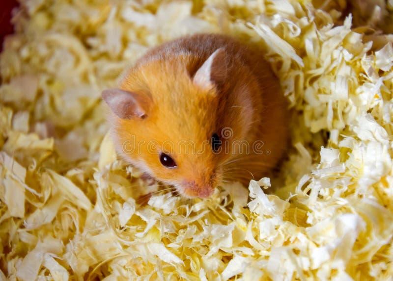 Maison de hamster en maintenant dans la captivité Hamster chez le hamster rouge de sciure images libres de droits