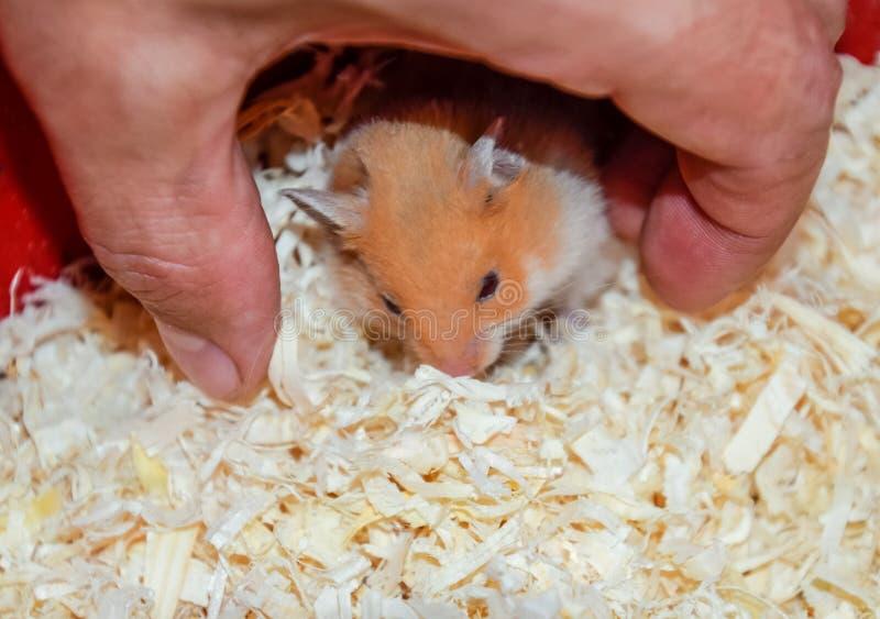 Maison de hamster en maintenant dans la captivité Hamster chez le hamster rouge de sciure photo libre de droits