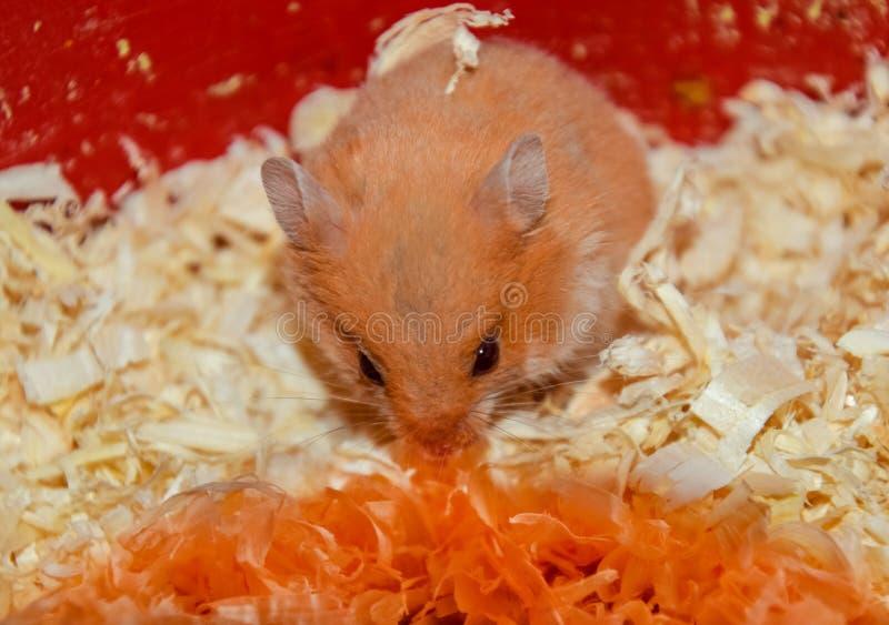 Maison de hamster en maintenant dans la captivité Hamster chez le hamster rouge de sciure image libre de droits