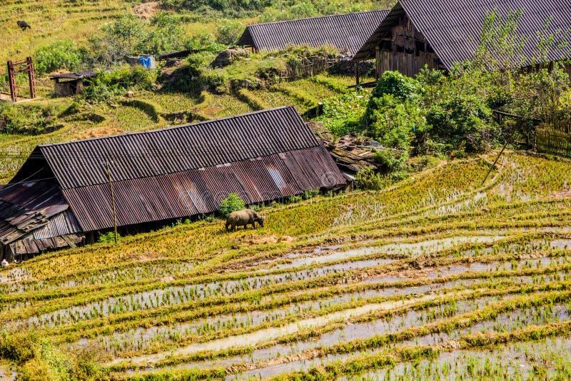Maison pastorale avec le buffle voyageant dans le domaine de riz photographie stock