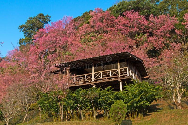 Maison tropicale asiatique avec les fleurs de cerisier rose-foncé photographie stock libre de droits