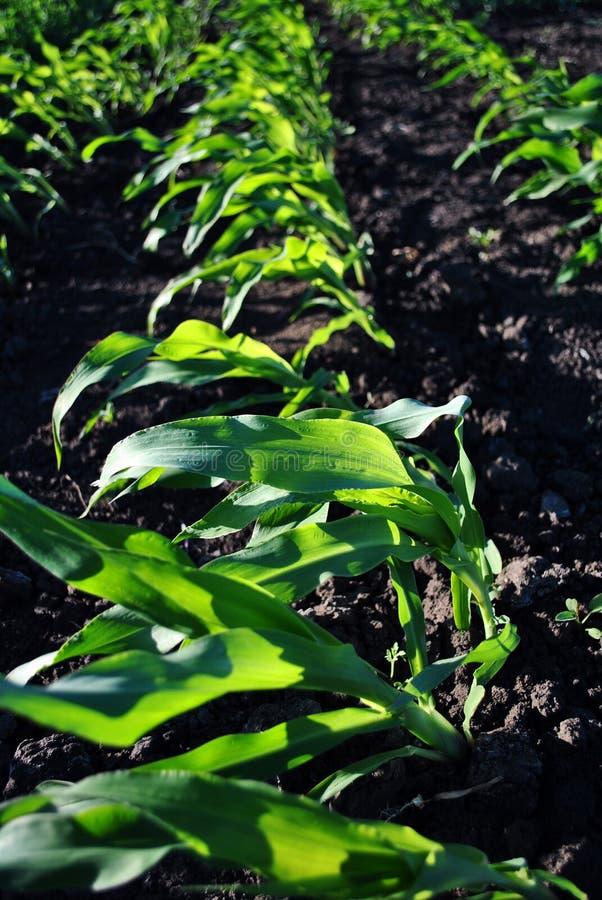Maispflanze, die in der Schwarzerde, biologische Landwirtschaft, Reihen auf dem Gebiet wächst lizenzfreie stockfotografie