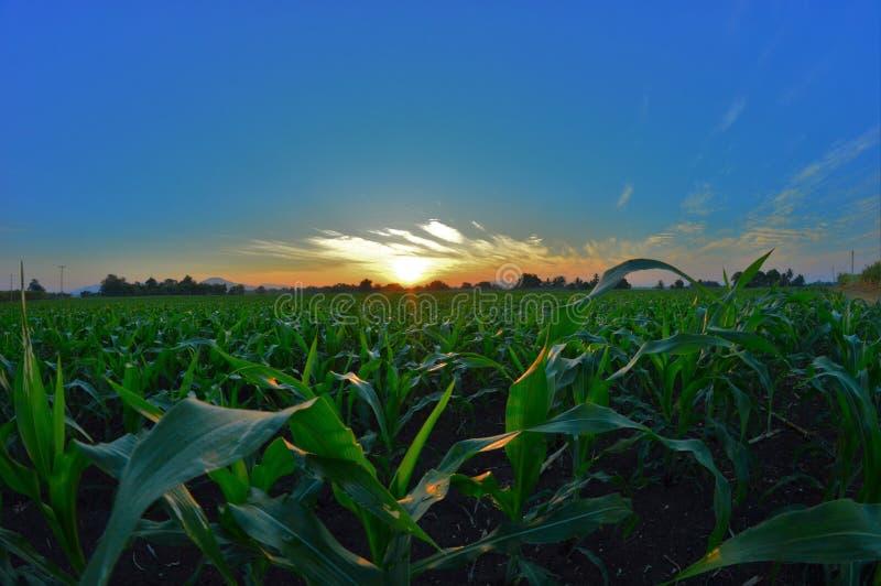 Maisplan lizenzfreie stockfotos