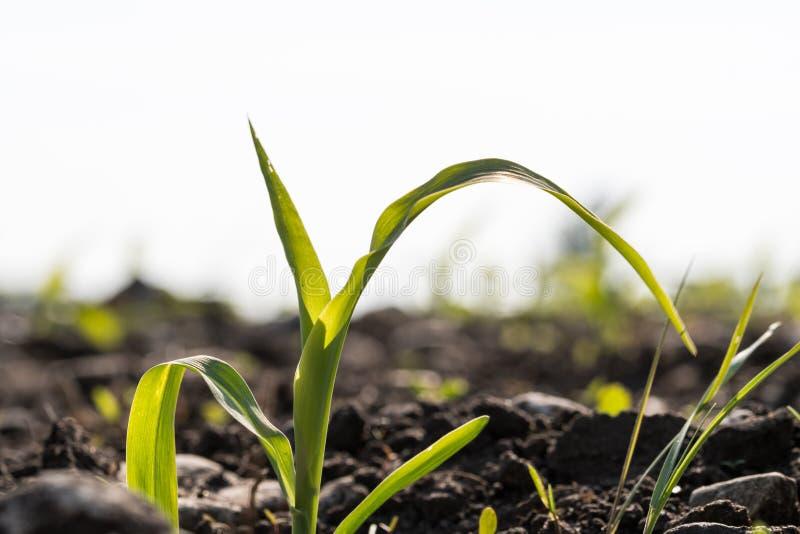 Maissämlingsabschluß oben auf einem Gebiet lizenzfreies stockfoto