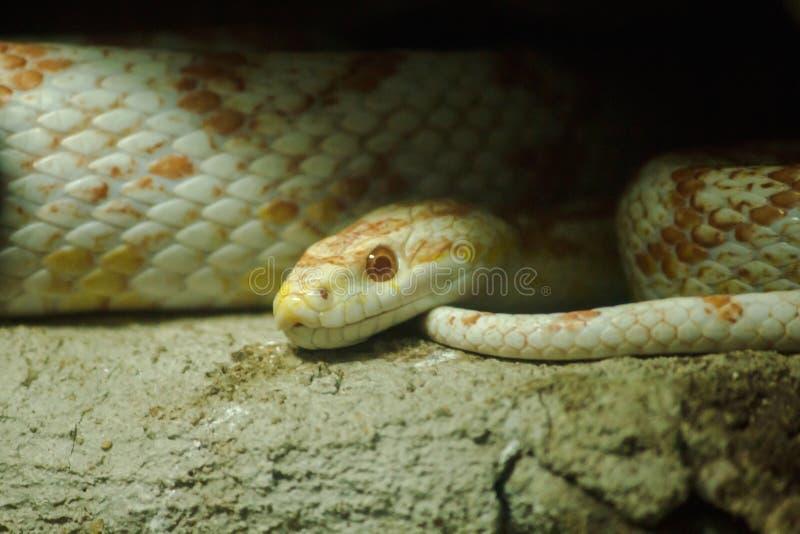 Maisschlange ist eine populäre Schlange Anheben einer Haustier Jagd für kleines Opfer durch das Schrumpfen stockfotografie