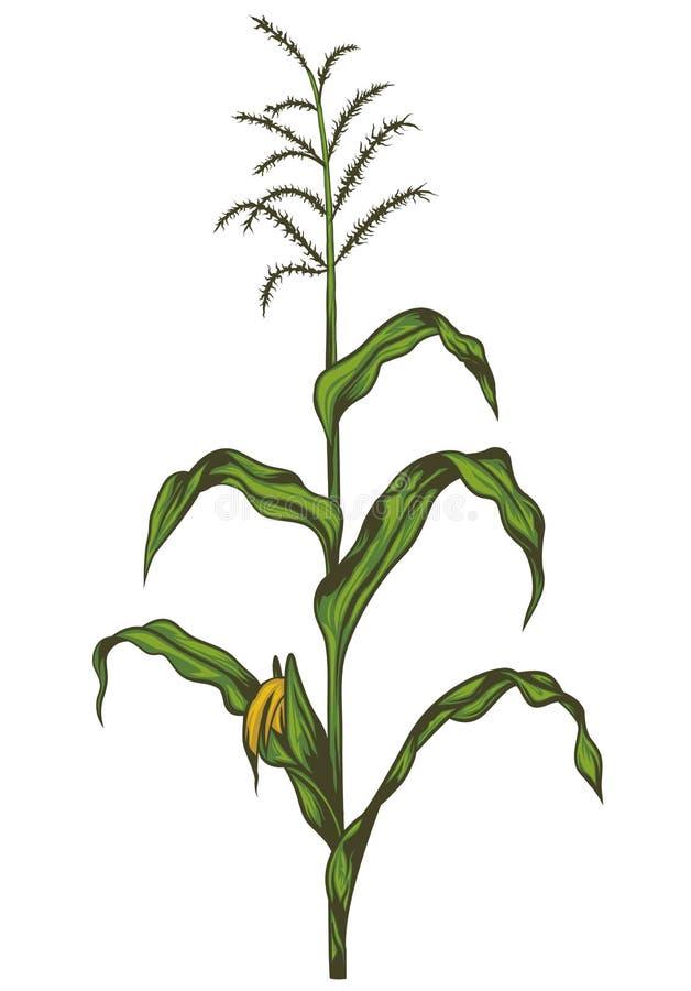 Maisstiel vektor abbildung