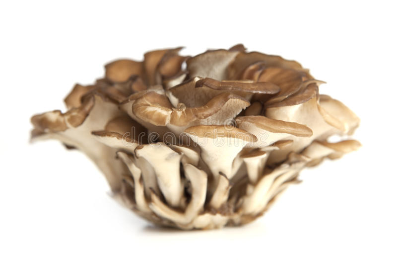Maitake Mushroom Cluster royalty free stock images