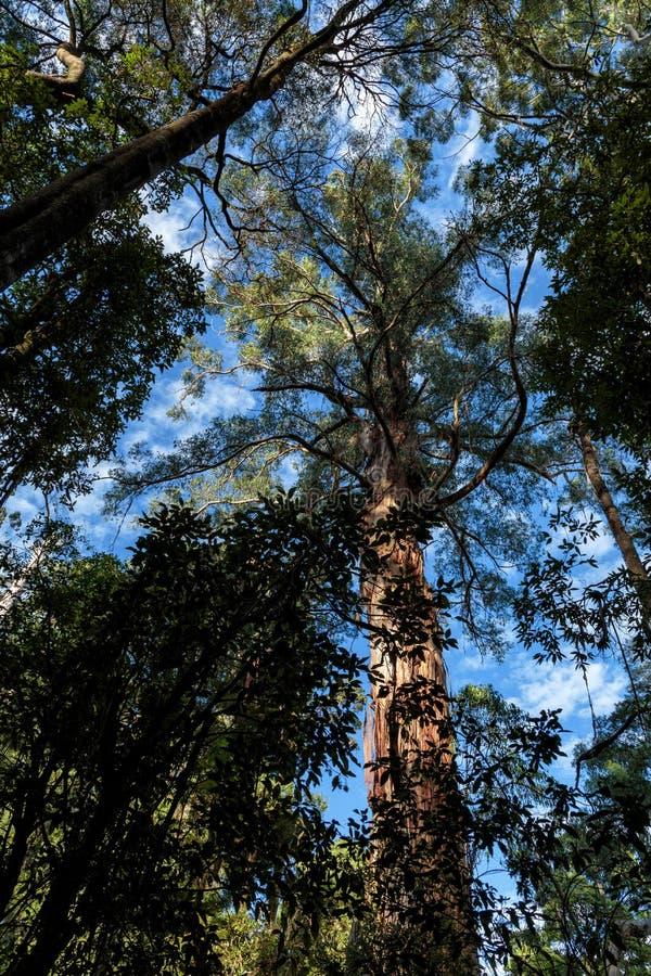 Maits odpoczynku tropikalnego lasu deszczowego spacer, Wielki Otway park narodowy, Wiktoria, Australia fotografia stock