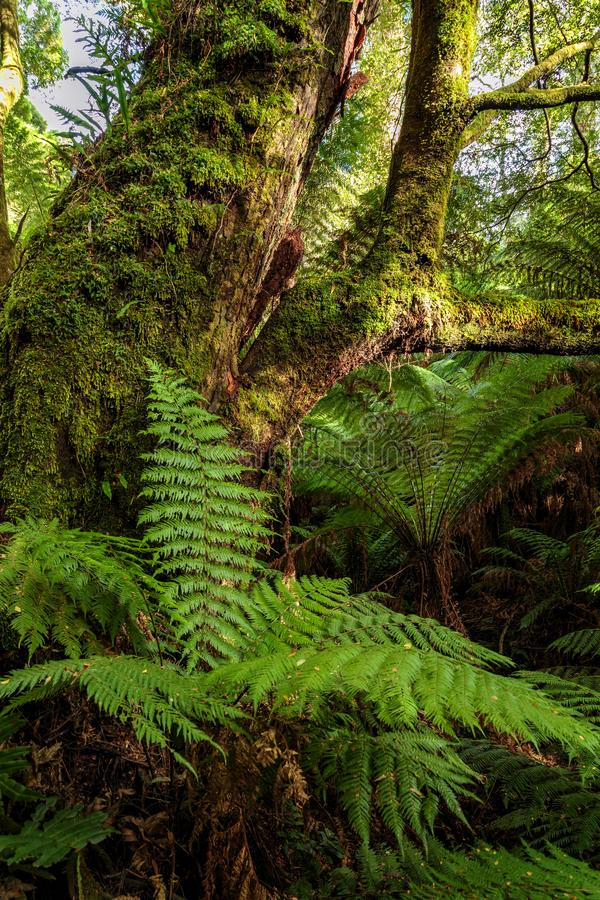 Maits Rest Rainforest Walk, Great Otway National Park, Victoria, Australia. Early morning sun breaking through tree ferns and moss and lichen covered trees seen stock photo