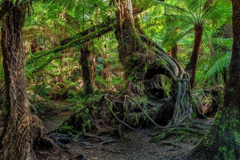 Maits-Rest-Regenwald-Weg, großer Nationalpark Otway, Victoria, Australien lizenzfreies stockbild
