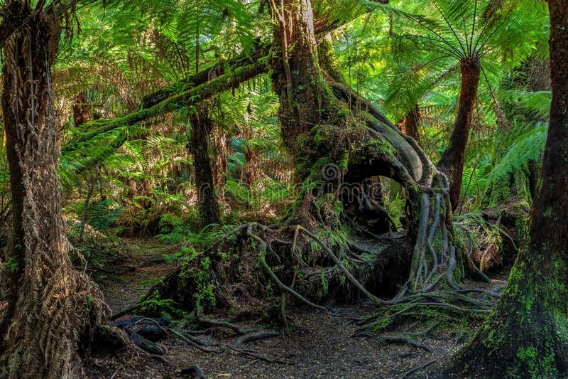 Maits vilar rainforesten går, den stora Otway nationalparken, Victoria, Australien royaltyfri bild