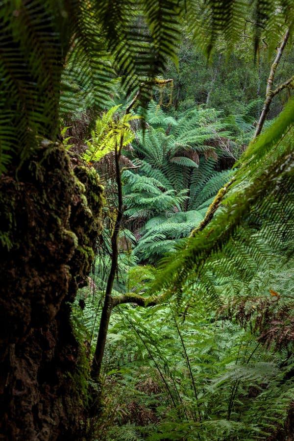 Maitsrust Regenwoudgang, het Grote Nationale Park van Otway, Victoria, Australië royalty-vrije stock foto