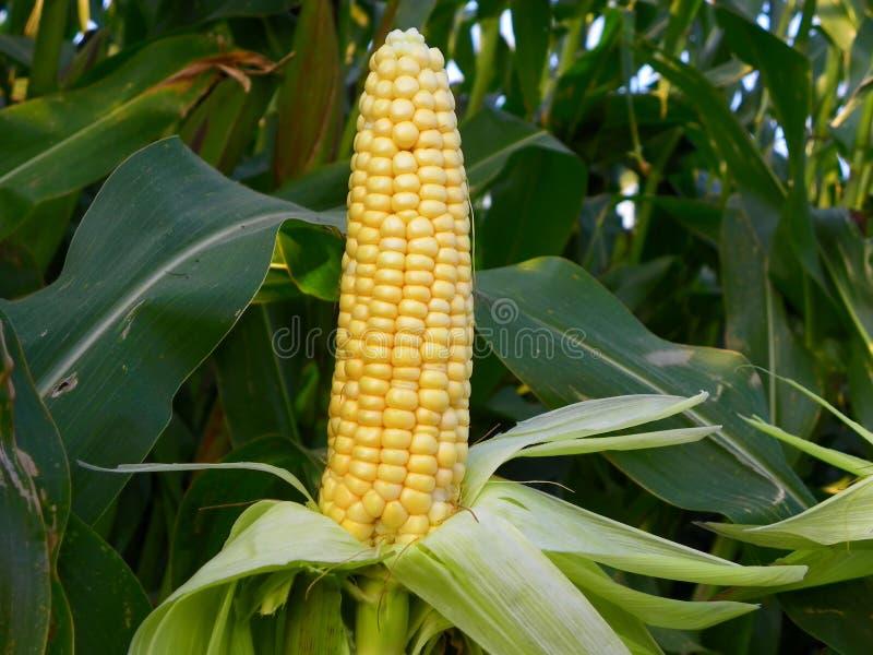 Maize stock image