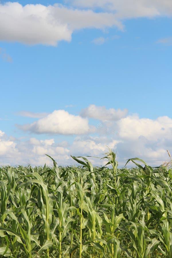 maize imagem de stock