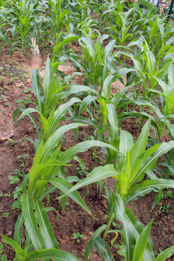 Free Maize - A Small Green Garden Of Small Baby Corn Plant Royalty Free Stock Images - 79576589