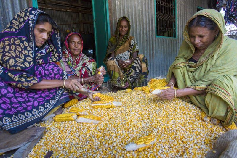 Some local women collecting corn, Manikgonj, Bangladesh. stock photos
