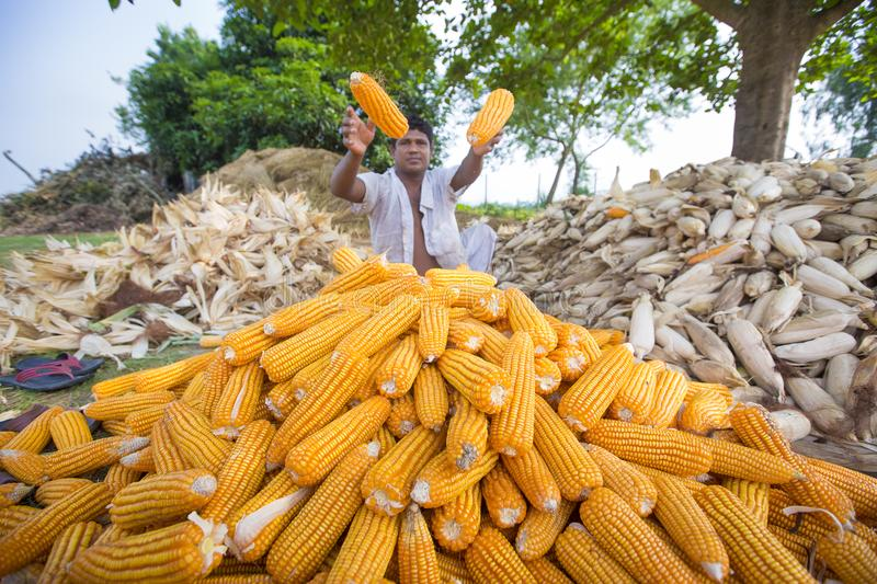 Worker collecting corn harvest, Thakurgaon, Bangladesh. Maize bhutta a CEREAL crop, Zea mays of the family Graminae, order Cyperales. In the Bangladesh it is royalty free stock photos