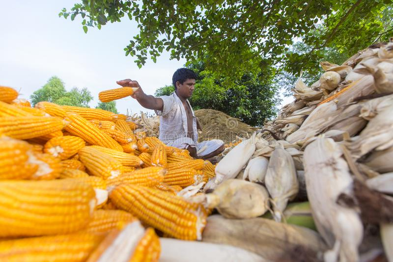 Worker collecting corn harvest, Thakurgaon, Bangladesh. Maize bhutta a CEREAL crop, Zea mays of the family Graminae, order Cyperales. In the Bangladesh it is royalty free stock photography