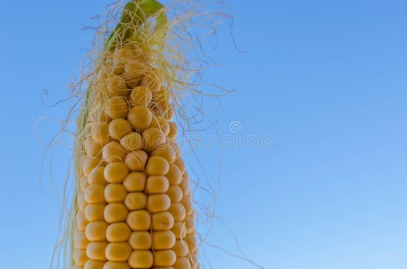 Maize cob detail with blue sky stock image