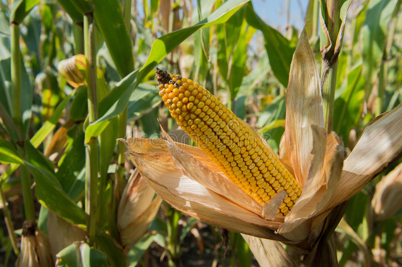 Maize cob with leaves stock photo
