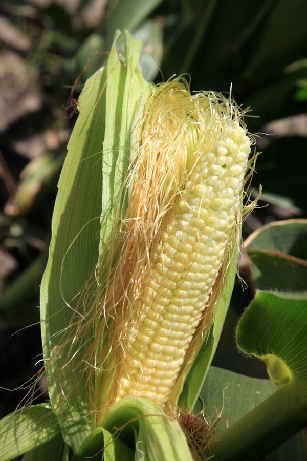 Maize. Stock Photo