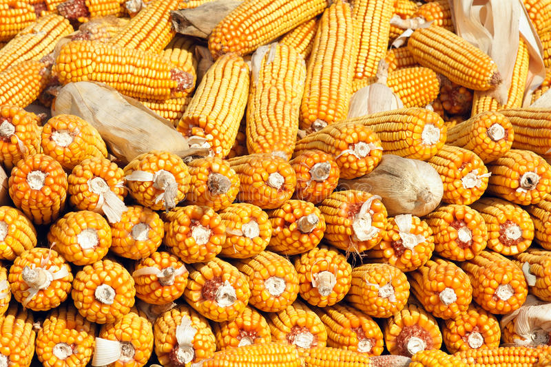 Download Maize cobs stock photo. Image of plant, seed, fruits - 27361356