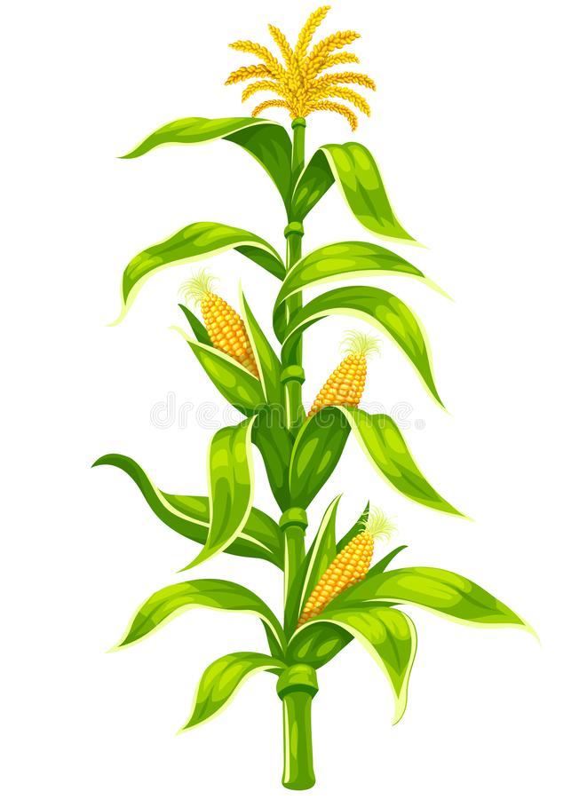 Maize corn cobs on plant stem isolated vector set. Illustration. vector illustration