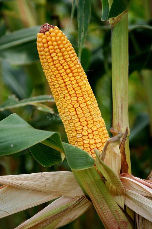 Maize, corn corncob royalty free stock photography