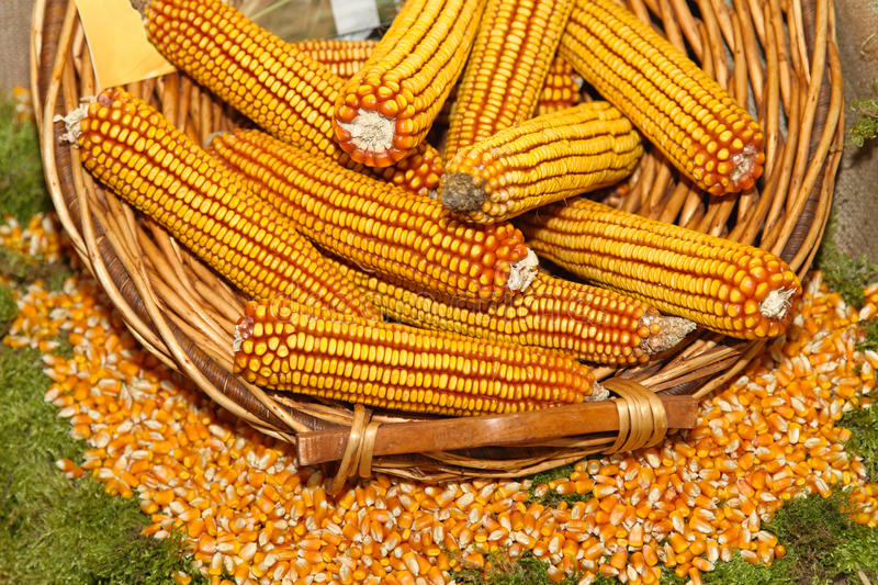 Download Maize corn stock image. Image of bunch, kernels, farm - 32683379