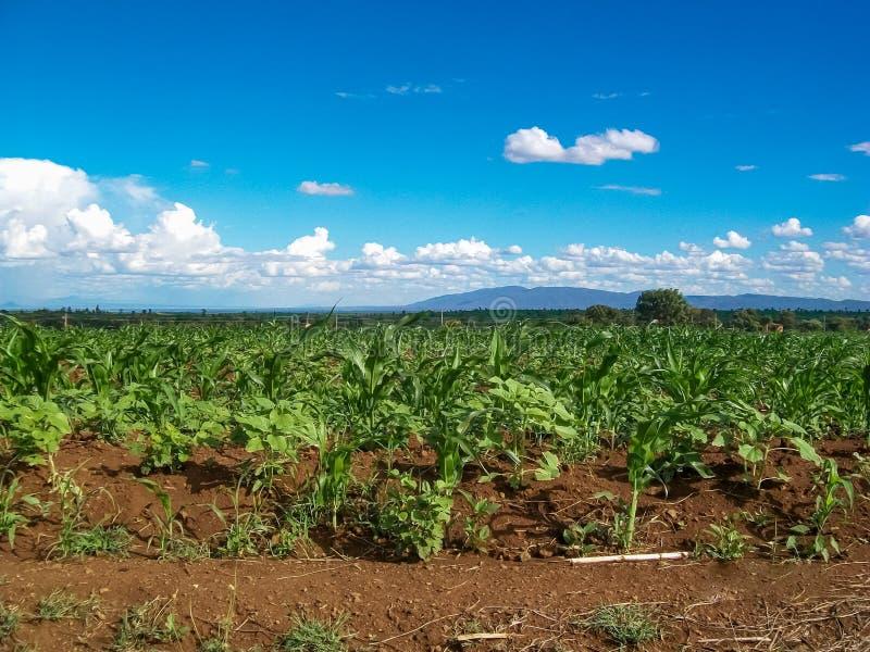 Maize Corn farm  in Tanzania Africa stock images