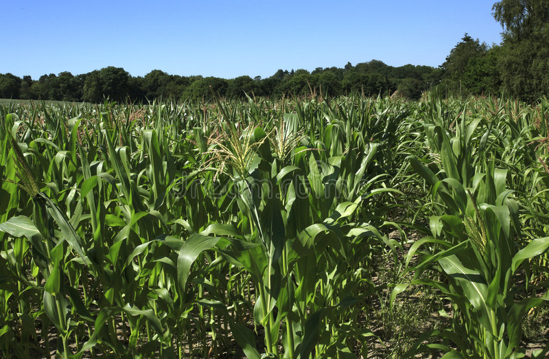 Download Maize Corn field stock photo. Image of ingredient, healthy - 3298940